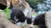 cattish : Grey cat sitting with their kittens Stock Footage