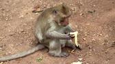 jantar : Rhesus macaque sits on the ground and eats banana
