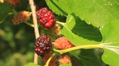 Флорес : Ripe mulberry with big green leafs in garden Стоковые видеозаписи
