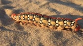 raro : Big rare caterpillar on the sand