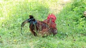 brasão : Rooster with red comb sit on green grass Vídeos