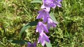 campanário : Purple bellflower on the green meadow