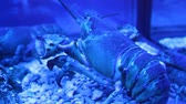 aquarium : Living lobster in restaurant aquarium with blue lighting