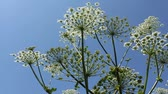 eudicots : Big plant on blue background. Vegetable kingdom. Heracleum maximum