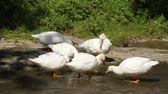 whiskers : White ducks by river Stock Footage