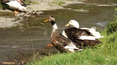 whiskers : Three ducks by river Stock Footage