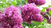 syringa : Violet lilac with green leafs
