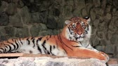 cattish : Amur tiger