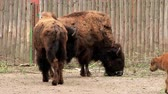 wisent : European bisons (Bison bonasus) and baby in zoo