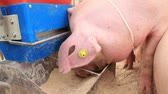 piglets : Pig eats on livestock farm