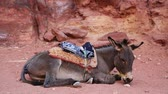doze : Gray donkey lies on the ground in the ancient city of Petra, originally known to Nabataeans as Raqmu - historical and archaeological city in Hashemite Kingdom of Jordan