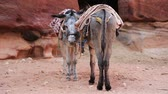siq : Donkeys in the ancient city of Petra, originally known to Nabataeans as Raqmu - historical and archaeological city in Hashemite Kingdom of Jordan Stock Footage