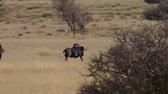 gnou : 226Black wildebeest running on the grass plains of the kalahari in south africa