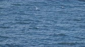 nueva zelanda : White-fronted tern, New Zealand bird is hunting the fish in the ocean. Archivo de Video
