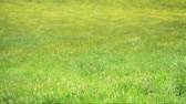 Seamless loop, Grass field waves Moved by the wind - HD video Stock Footage