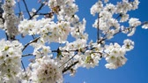 Cherry blossom, blue sky background, springtime concept, HD video
