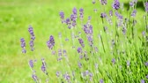Seamless loop, close up of blooming lavender flowers moving in the wind on green background - Video HD