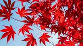 Seamless loop, red colorful autumnal maple leaves, blue sky background - Autumn concept, HD video