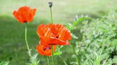 Seamless loop, red poppies flowers close up, green nature background, HD video Stock Footage