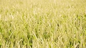 Seamless loop, Green wheat field moving in the wind, agriculture organic wheat concept, HD video Stock Footage