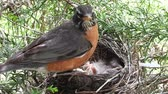 yeşil arka plan : Robins Feeding Their Young - Day 4b - Mama and papa robins take turns bringing worms to feed the nestling robins Stok Video