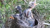 pintos : Young robins scratch and stretch their wing in an overcrowded nest - Day 8 Vídeos