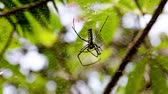 creepy : Golden silk orb-weaver