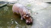 tál : hippopotamus in the water