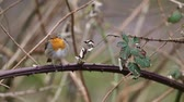 шаг : an European Robin is looking for dangerous on an tree