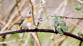 step by step : an European Robin is looking for dangerous on an tree