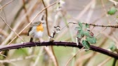 roodborstje : an European Robin is looking for dangerous on an tree