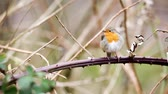 krok : an European Robin is looking for dangerous on an tree