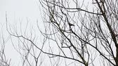 silhouette : In the winter you find treetops in the forest whit an bird Stock Footage