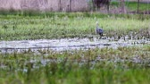 állvány : This heron is waiting for an snack in the meadow