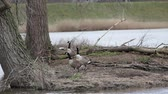 gaga : an flock of Canadian geese next to two trees in the park Stok Video