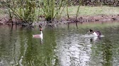 chování : in the park of the city there is a grebe on the water Dostupné videozáznamy