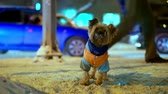 домашнее животное : Yorkshire terrier dog in orange down jacket got lost on a snowy city street at night. Cars are going, he is looking for a master, he is trembling and he is scared