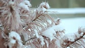 小花 : Dried spruce, in the snow, very cold. Severe frost in Alaska