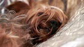hond : De hondslaap van Yorkshire Terrier op bed binnen, close-up Stockvideo