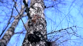 грызун : Squirrel sits on the branches of a tree in winter. She nibbles his nuts and looks down Стоковые видеозаписи