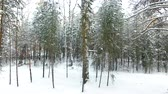 titokzatos : Winter Forest Aerial View. The drone flies through the trees in the forest back