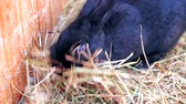 грызун : cute black rabbit. He eats hay and runs away Стоковые видеозаписи