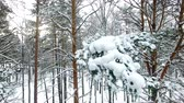 januari : Winter Forest Aerial View. the drone lands near a snow-covered pine branch Stockvideo