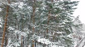 zasněžený : Winter Forest Aerial View. Drone flies to the pines. Snow-covered branches in front