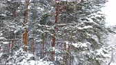 zasněžený : Winter Forest Aerial View. The drone flies very close to snow-covered pine branches