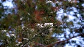 zasněžený : Pine branch close-up snow. The background is unfocus pine tree in winter forest Dostupné videozáznamy