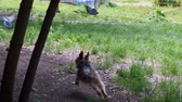 hond : Pigeons flying when a dog came in slowmo. Stockvideo