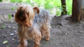 hond : Hond Yorkshire Terrier In park