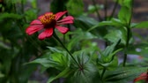 szárak : Red Zinnia Flower Showered in The Rain. Zinnia Flower Motion in The Rain
