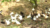patitos : a group of ducks resting by the river after swimming